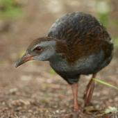 Weka. Adult North Island weka. Kawakawa Bay, May 2007. Image © Neil Fitzgerald by Neil Fitzgerald www.neilfitzgeraldphoto.co.nz
