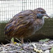 Weka. North Island weka juvenile (captive bird).. Hamilton, October 2012. Image © Raewyn Adams by Raewyn Adams