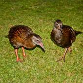 Weka. Western weka - adult (left) and immature. Lyell, March 2010. Image © Raewyn Adams by Raewyn Adams
