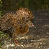 Weka. Adult Stewart Island stretching wings. Ulva Island, March 2015. Image © Glenda Rees by Glenda Rees https://www.flickr.com/photos/nzsamphotofanatic/