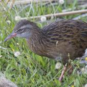 Weka. Adult western weka. Lake Brunner, February 2014. Image © Steve Attwood by Steve Attwood   http://www.flickr.com/photos/stevex2/