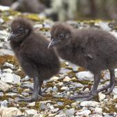 Weka. Western weka chicks. Mt Arthur Track Kahurangi National Park, November 2015. Image © Rebecca Bowater by Rebecca Bowater FPSNZ AFIAP www.floraanffauna.co.nz