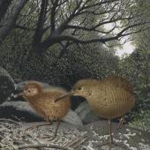 Chatham Island rail. Hutton's rail (Cabalus modestus). Image 2006-0010-1/43 from the series 'Extinct birds of New Zealand'. Masterton. Image © Purchased 2006. © Te Papa by Paul Martinson See Te Papa website: http://collections.tepapa.govt.nz/objectdetails.aspx?irn=653112&term=island+rail