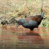 Spotless crake. Adult searching for food. Tiritiri Matangi, October 2015. Image © Oscar Thomas by Oscar Thomas https://www.flickr.com/photos/kokakola11/