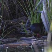 Spotless crake. Adult standing in water. Hawke's Bay, November 2012. Image © Glenda Rees by Glenda Rees http://www.flickr.com/photos/nzsamphotofanatic/