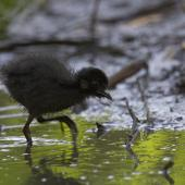 Spotless crake. Chick. Melbourne, Victoria, Australia, January 2009. Image © Sonja Ross by Sonja Ross