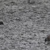 Spotless crake. Adults foraging on mud. Melbourne, Victoria, Australia, March 2008. Image © Sonja Ross by Sonja Ross
