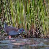 Spotless crake. Adult foraging at lake margin. Lake Okareka, July 2016. Image © Tony Whitehead by Tony Whitehead www.wildlight.co.nz