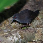 Spotless crake. Juvenile. Aorangi Island, Poor Knights Islands, February 2013. Image © Colin Miskelly by Colin Miskelly