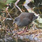 Spotless crake. Immature. North-east dam, Tiritiri Matangi Island, October 2015. Image © Oscar Thomas by Oscar Thomas https://www.flickr.com/photos/kokakola11/