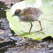 Marsh crake. Chick c.2 weeks old. Mangapoike Rd, 23 km from Wairoa, January 2016. Image © Ian  Campbell by Ian  Campbell