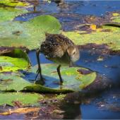 Marsh crake. Chick c.3 weeks old. Mangapoike Rd, 23 km from Wairoa, January 2016. Image © Ian  Campbell by Ian  Campbell