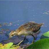 Marsh crake. Chick c.4 weeks old. Mangapoike Rd, 23 km from Wairoa, January 2016. Image © Ian Campbell by Ian Campbell