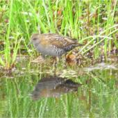 Marsh crake. Adult. Mangapoike Rd, 23 km from Wairoa, January 2016. Image © Ian Campbell by Ian Campbell