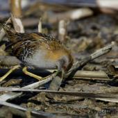 Marsh crake. Adult foraging. Waimakariri River mouth, July 2019. Image © Donald Snook by Donald Snook