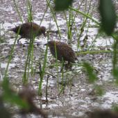 Marsh crake. Adult pair. Mangapoike Rd, January 2017. Image © Ian and Mary Campbell by Ian Campbell