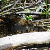 Marsh crake. Adult. Lake Aviemore, March 2015. Image © David Saunders by David Saunders