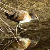 Marsh crake. Juvenile feeding in wetland. Ahuriri estuary, December 2016. Image © Scott Brooks (ourspot) by Scott Brooks