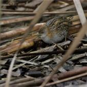 Marsh crake. Juvenile. Waimakariri River mouth, July 2019. Image © Donald Snook by Donald Snook