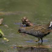 Australian crake. Foraging bird. Melbourne, Victoria, Australia, October 2008. Image © Sonja Ross by Sonja Ross
