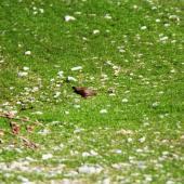 Black-tailed native-hen. Adult. Lake Hood, Ashburton, September 2002. Image © Nicholas Allen by Nicholas Allen nick_allen@xtra.co.nz
