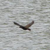 Black-tailed native-hen. Adult in flight. Flinders University, Adelaide, Australia, September 2013. Image © Alan Tennyson by Alan Tennyson