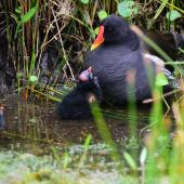 Common moorhen. Adult and chick begging for food (subspecies chloropus). Baie de Somme, France, July 2016. Image © Cyril Vathelet by Cyril Vathelet