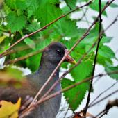 Common moorhen. Subadult (subspecies chloropus), hiding behind leaves. Auxerre,  France, November 2015. Image © Cyril Vathelet by Cyril Vathelet