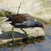 Common moorhen. Adult (subspecies G. c. chloropus). Crystal Palace, London, April 2018. Image © Alan Tennyson by Alan Tennyson