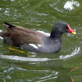 Common moorhen. Adult (subspecies chloropus). London, England, July 2012. Image © Alan Tennyson by Alan Tennyson