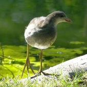 Common moorhen. Juvenile (subspecies chloropus). London Zoo, August 2017. Image © Alan Tennyson by Alan Tennyson