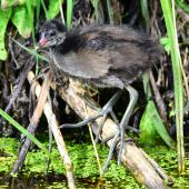 Common moorhen. Older chick (subspecies chloropus) showing its huge feet. Baie de Somme, July 2016. Image © Cyril Vathelet by Cyril Vathelet