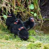 Common moorhen. Group of chicks (subspecies chloropus). Baie de Somme, France, July 2016. Image © Cyril Vathelet by Cyril Vathelet