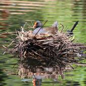 Dusky moorhen. Adult on nest. Sydney,  New South Wales,  Australia, October 2015. Image © Duncan Watson by Duncan Watson