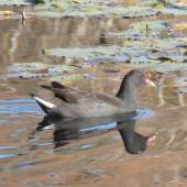 Dusky moorhen. Immature swimming. Centennial Park, Sydney, Australia, June 2009. Image © Alan Tennyson by Alan Tennyson