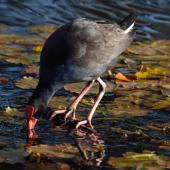 Pukeko. Adult drinking. North Shore Auckland, July 2010. Image © Peter Reese by Peter Reese
