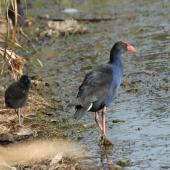 Pukeko. Adult with chick. Lake Rotoiti, April 2010. Image © Peter Reese by Peter Reese