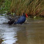 Pukeko. Adult bathing. Canterbury, October 2008. Image © Peter Reese by Peter Reese