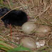 Pukeko. Nest with chick and three eggs. North Shore Auckland, November 2008. Image © Peter Reese by Peter Reese
