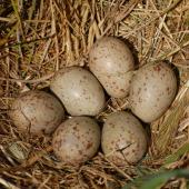 Pukeko. Nest with six eggs. North Shore Auckland, December 2008. Image © Peter Reese by Peter Reese