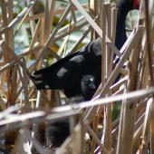 Pukeko. Adult and chick in nest. Wanganui, January 2008. Image © Corey Mosen by Corey Mosen www.coreymosen.co.nz