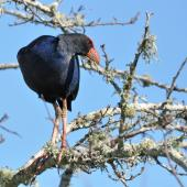 Pukeko. Adult perched in tree. Auckland, August 2014. Image © Marie-Louise Myburgh by Marie-Louise Myburgh