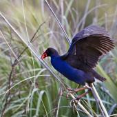 Pukeko. Adult showing underwing. Tauranga, July 2012. Image © Raewyn Adams by Raewyn Adams