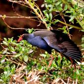 Pukeko. Adult stretching wings. Western Springs,  Auckland, December 2009. Image © Cheryl Marriner by Cheryl Marriner http://www.glen.co.nz/cheryl