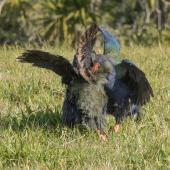 South Island takahe. Two females fighting. Tiritiri Matangi Island, July 2015. Image © Martin Sanders by Martin Sanders http://martinsanders.smugmug.com/