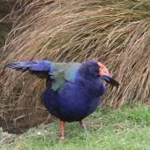 South Island takahe. Adult raising wings. Mount Bruce Wildlife Centre, July 2011. Image © Bart Ellenbroek by Bart Ellenbroek