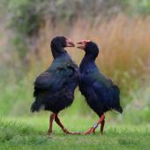 South Island takahe. Courting pair, male on left. Kapiti Island, November 2016. Image © Geoff de Lisle by Geoff de Lisle