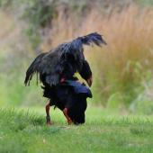 South Island takahe. Mating pair. Kapiti Island, November 2016. Image © Geoff de Lisle by Geoff de Lisle