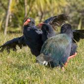 South Island takahe. Two females fighting, male watching on. Tiritiri Matangi Island, July 2015. Image © Martin Sanders by Martin Sanders http://martinsanders.smugmug.com/