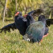 South Island takahe. Two females fighting, male watching on. Tiritiri Matangi Island, July 2015. Image © Martin Sanders by Martin Sanders http://martinsanders.smugmug.com/